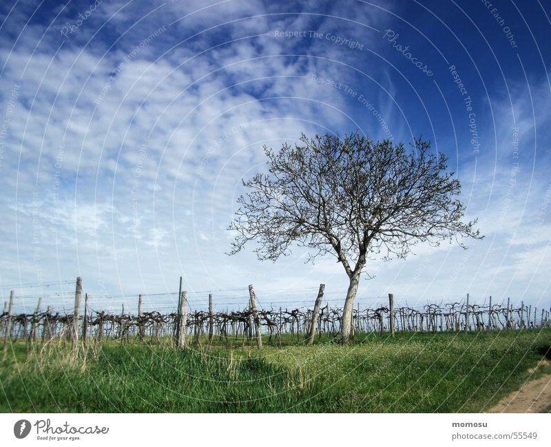 Frühling im Weingarten Weinbau Baum Gras Wolken Himmel