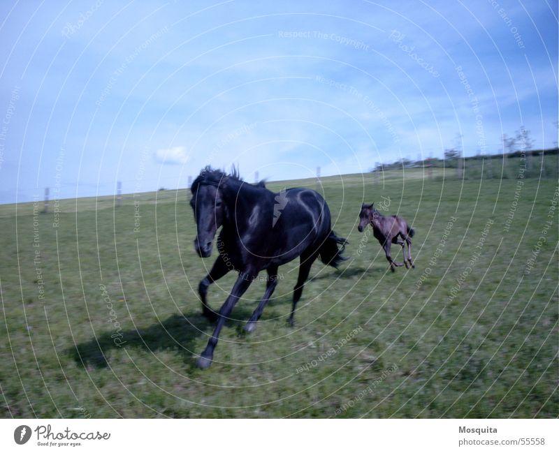 galoppigaloppi Himmel blau schwarz Gras Bewegung klein Kraft Freizeit & Hobby rennen Energiewirtschaft Geschwindigkeit Aktion Pferd Hügel Weide Reihe