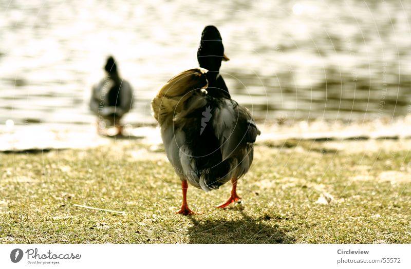 Auf geht's - baden! Die Sonne scheint See Gras Frühling Vogel Erpel watscheln zielstrebig folgend laufen springen Ente Wasser Rasen Ziel Reihe following duck