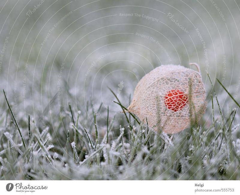 eiskalter Novembermorgen... Umwelt Natur Pflanze Herbst Eis Frost Gras Lampionblume Garten frieren liegen dehydrieren ästhetisch natürlich braun grün orange