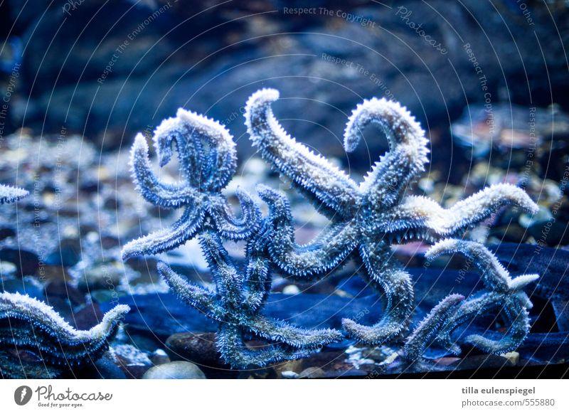 Scheibenknutscher blau Wasser Meer Tier kalt natürlich nass Stern Stern (Symbol) exotisch Aquarium kleben nebeneinander Seestern Unterwasseraquarium
