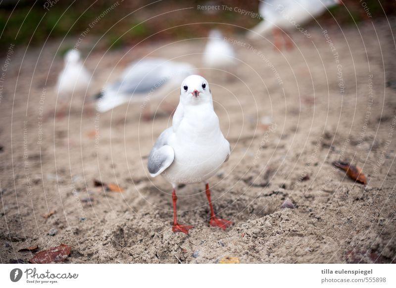 Hermann Ferien & Urlaub & Reisen Strand Sand Herbst Ostsee Meer Tier Wildtier Vogel Tiergesicht 1 Tiergruppe beobachten Blick stehen warten frech natürlich weiß