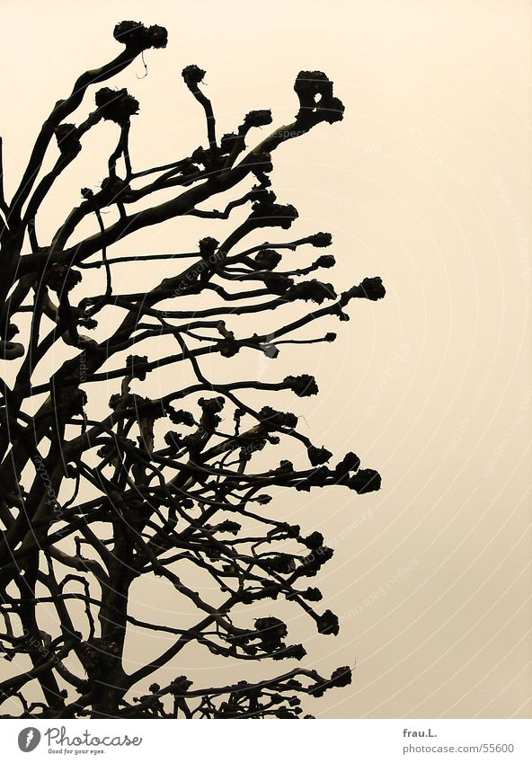 verkrüppelt beschnitten Baum Winter Trauer trist Himmel Herbst Platane Ast Traurigkeit