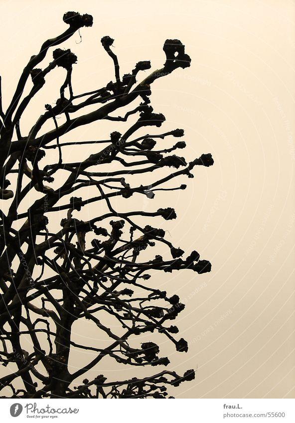 verkrüppelt Himmel Baum Winter Herbst Traurigkeit Trauer trist Ast Platane beschnitten
