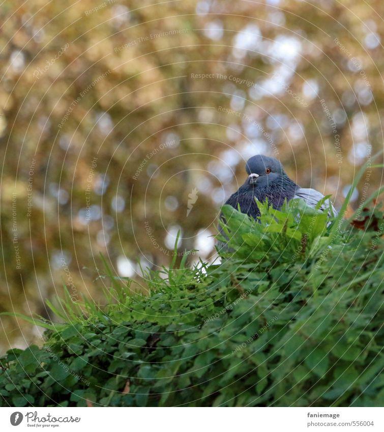 Zeit zum Aufplustern Natur Garten Park Tier Vogel Taube sitzen blau braun gold grün aufplustern aufgeplustert Aix-en-Provence Frankreich Herbstfärbung