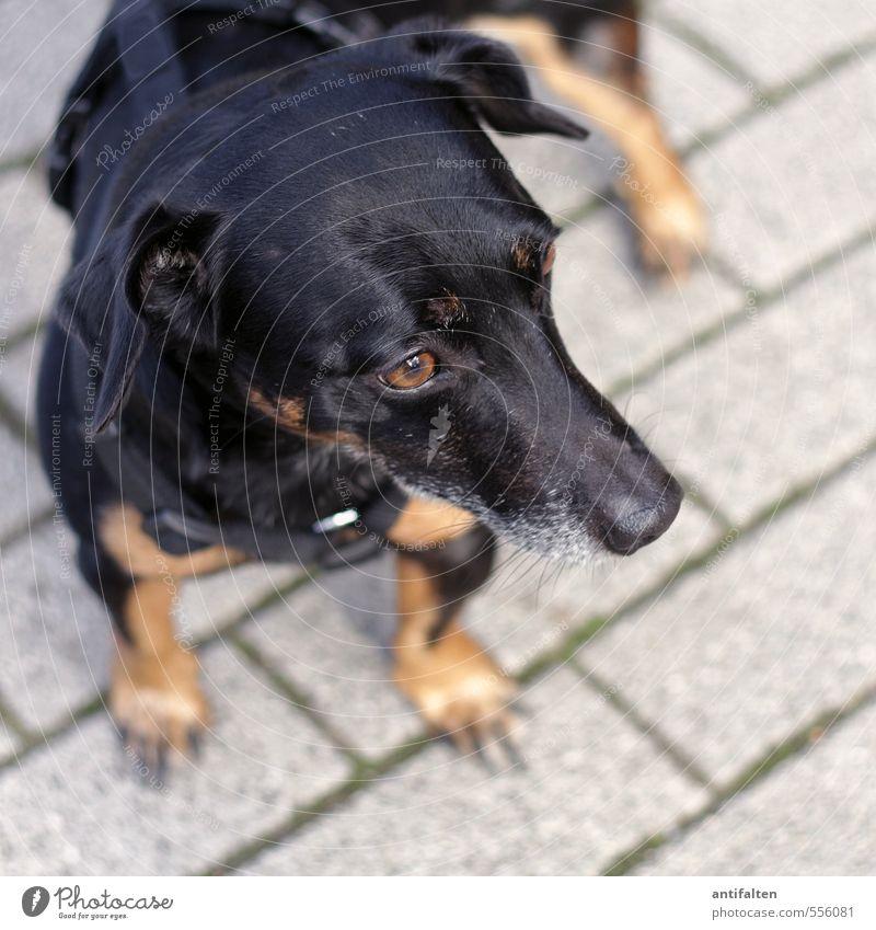 Gestatten, Bruno. Hund Stadt schön Tier schwarz Auge Gefühle grau Stein träumen braun stehen Platz ästhetisch beobachten Neugier