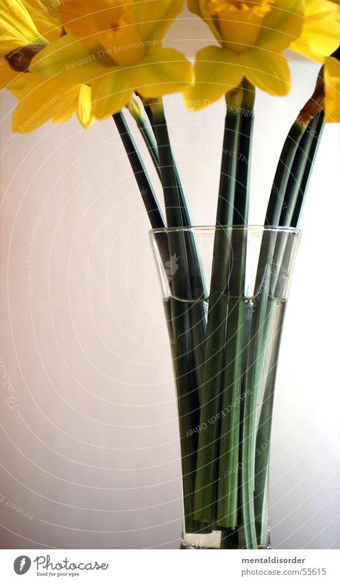 narcissus pseudonarcissu Gelbe Narzisse gelb grün Pflanze Blatt Blüte Nährstoffe Licht Photosynthese Wachstum Halm Hintergrundbild stehen Glas Wasser Stengel