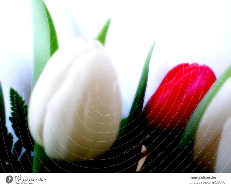 tulipa gesneriana Tulpe weiß grün Pflanze Blatt Blüte Nährstoffe Licht Photosynthese Wachstum Halm Hintergrundbild stehen Wasser Stengel Anschnitt