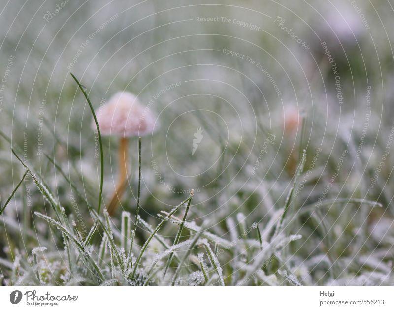 Tarnkappe... Umwelt Natur Pflanze Herbst Winter Eis Frost Gras Pilz Garten Wiese frieren stehen Wachstum authentisch kalt klein natürlich braun grün weiß ruhig