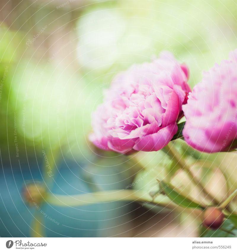 Frühlingswunderland Natur grün Blume Blüte rosa zart Blütenknospen Pfingstrose Pfingsten