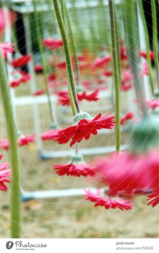 Blumen nach Unten Natur Pflanze schön grün Farbe rot Blume Blüte außergewöhnlich Linie Kunst Wachstum offen Dekoration & Verzierung Platz Blühend