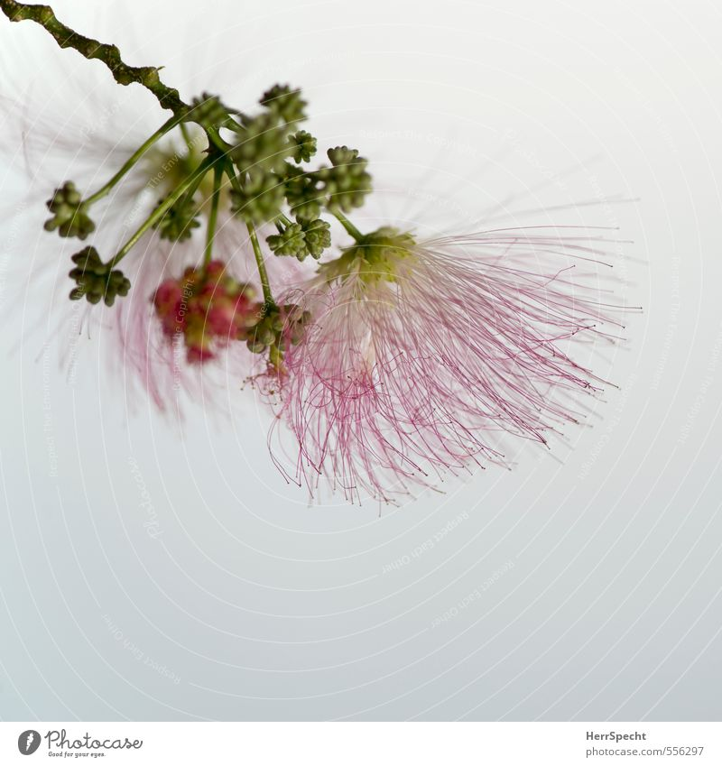 Rosa Puschel-Baum schön grün Pflanze Blüte natürlich rosa Behaarung ästhetisch Blühend zart Duft Blütenknospen Nähgarn Fruchtstand Akazie