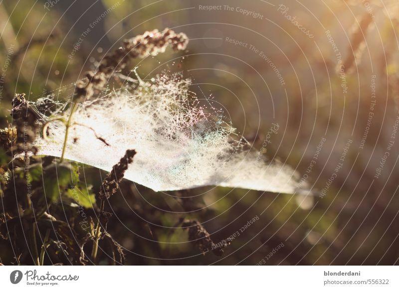Netzwerk Natur Landschaft Schönes Wetter Glück ruhig Spinnennetz Blume spinnen Wiese Sonne Morgendämmerung eingesponnen Hinterhalt Farbfoto Außenaufnahme