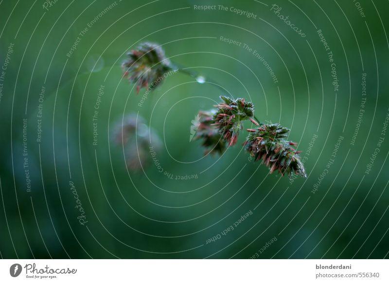 Graswipfel Wasser Sommer Herbst Nebel Regen Pflanze Blüte fallen festhalten glänzend Wachstum frisch Gesundheit nass Sauberkeit grün Halm Samen Wassertropfen