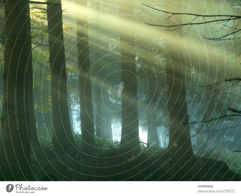 Lichtblick Wald Nadelwald Lichteinfall Nebel Sonne Beleuchtung
