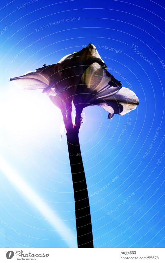 Amaryllis 2 schön Himmel weiß Sonne Blume blau Blatt Blüte Beleuchtung Stengel Hochformat