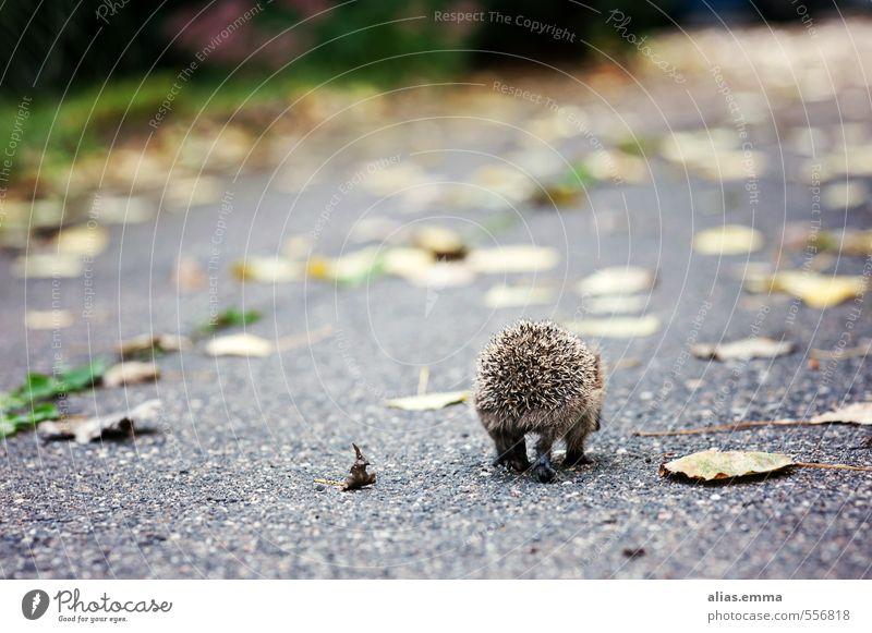 Gute Reise kleiner Igel Einsamkeit Tier Winter Herbst Garten Wildtier stachelig Stachel Winterschlaf