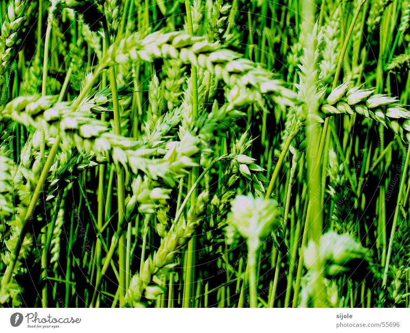 Giftweizen Weizen Halm grün Feld Aussaat Getreide Korn Samen