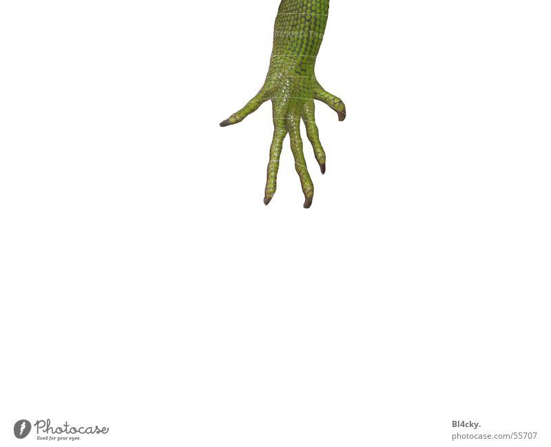 Die Kralle Grüner Leguan Leguane Krallen Nagel Finger grün Reptil