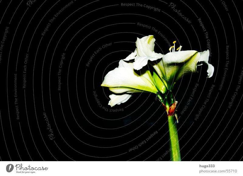 Amaryllis 3 Natur Himmel weiß Blume grün Pflanze Blatt schwarz Einsamkeit dunkel Blüte Afrika Dekoration & Verzierung zart Stengel Duft