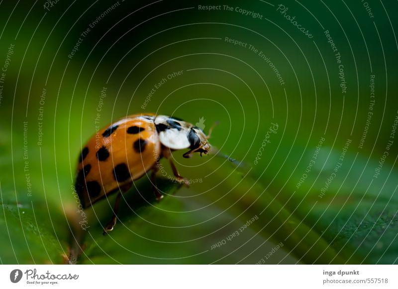 Glückskäfer Natur grün Sommer Tier Umwelt Gefühle Wiese Glück Garten Wildtier Insekt Umweltschutz Fressen krabbeln Käfer Marienkäfer