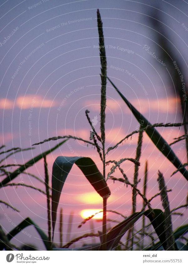 ein bett im maisfeld Natur Himmel Sonne blau Sommer Gras Feld rosa Romantik Mais Lichtblick