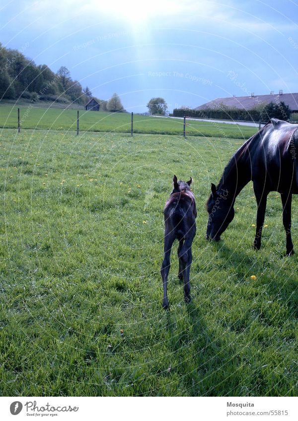 ein Tag im April grün Erwachsene schwarz Wiese Gras klein Frühling Freizeit & Hobby Tierjunges Pferd Schutz Weide Zaun Gewitter Kontrolle Ackerbau