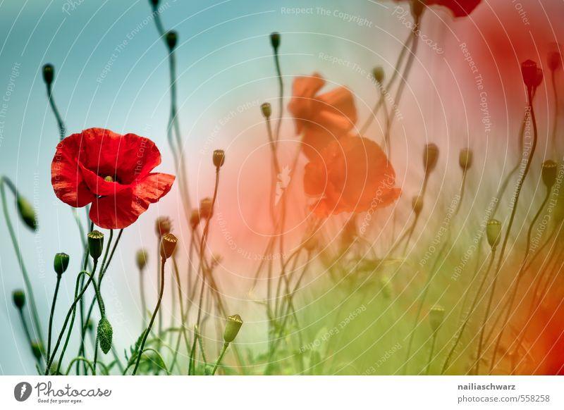 Mohnblumen auf Sommerwiese blau grün Sommer Sonne rot Blume Wiese Gras Garten Feld Idylle Blühend Mohn sommerlich Blumenwiese friedlich
