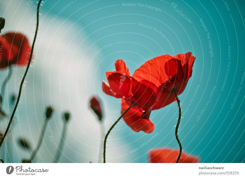 Mohnblumen auf Sommerwiese Natur blau grün Pflanze Sonne rot Blume Umwelt Wiese Frühling Blüte natürlich Garten Feld Idylle