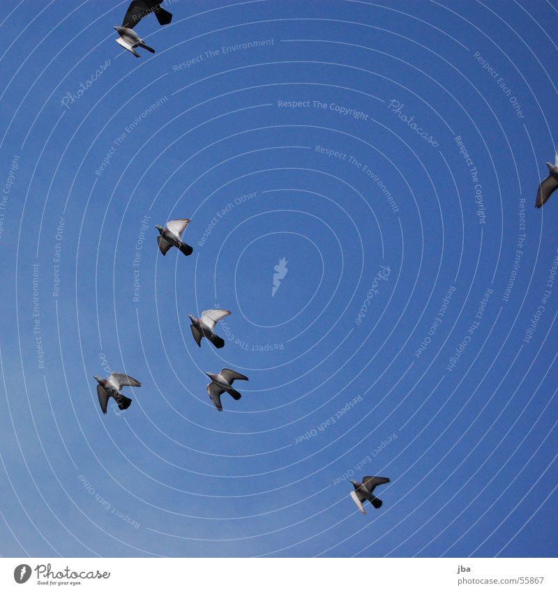 FREIHEIT! Taube Vogel frei Wolken Luftverkehr fliegen Freiheit Himmel mehrere