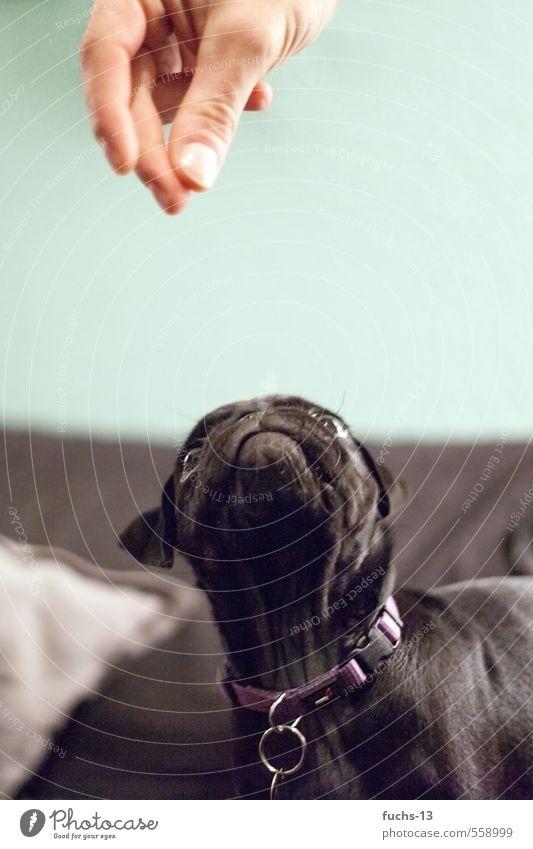 Her damit Hand Finger Tier Haustier Hund Tiergesicht Mops Welpe 1 entdecken Fressen füttern frech Neugier schwarz Interesse Appetit & Hunger skurril Farbfoto