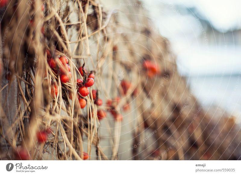 HagebutTEE Umwelt Natur Pflanze Sträucher Hagebutten natürlich rot Farbfoto Außenaufnahme Nahaufnahme Menschenleer Tag Schwache Tiefenschärfe