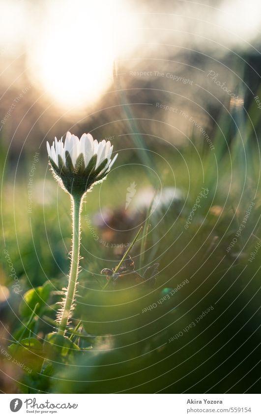 Blümchenlicht Natur Pflanze Himmel Sonne Sonnenaufgang Sonnenuntergang Frühling Schönes Wetter Blume Gras Gänseblümchen Park Wiese berühren Blühend glänzend