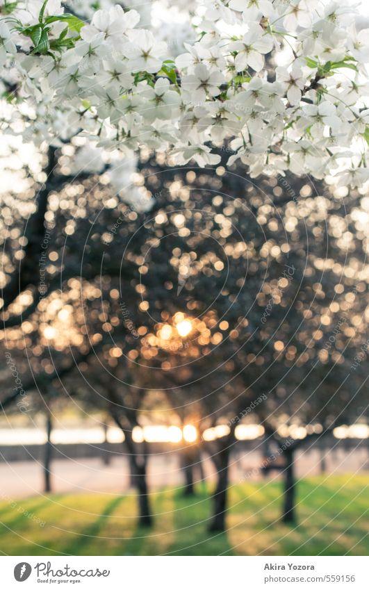 Between the trees of Spring Natur Sonnenaufgang Sonnenuntergang Frühling Schönes Wetter Baum Gras Blüte Park Stadt Wege & Pfade Blühend Erholung glänzend