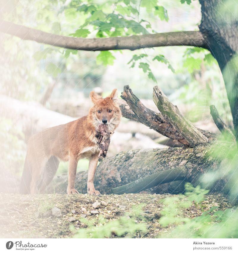 [222] Beute Natur Sommer Pflanze Baum Blatt Wildtier Hund 1 Tier entdecken Essen fangen Fressen Jagd Blick wild braun grün orange weiß Appetit & Hunger Erfolg