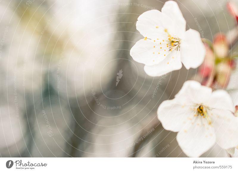 Woke up this morning Natur weiß Pflanze Baum gelb Frühling Blüte braun rosa Warmherzigkeit Blühend Frühlingsgefühle Kirschblüten