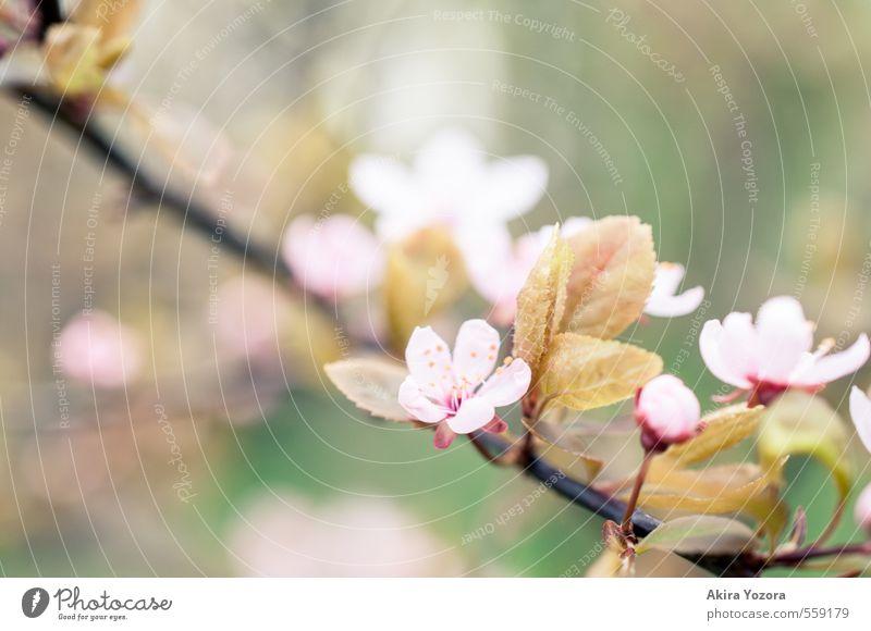 Quietly Natur grün Baum rot Blatt schwarz Frühling Blüte rosa Blühend Romantik Frühlingsgefühle Kirschblüten Kirschbaum Zierkirsche