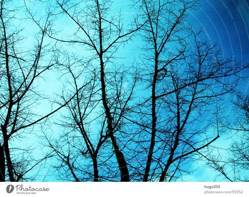 Astgeflecht Natur alt Himmel blau Winter Traurigkeit Wachstum Jahreszeiten Schönes Wetter Botanik Baumkrone Zweig Biologie Saison Laubbaum