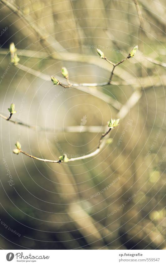 Frühlingsboten Natur Pflanze Wald Wärme Frühling Garten Park Schönes Wetter Blattknospe