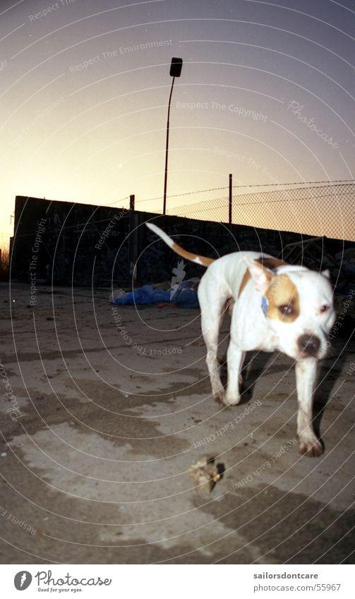la vida Hund Pit Bull Müllhalde Dämmerung