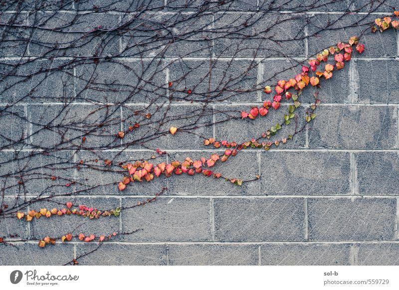Blutspur Natur Pflanze Herbst Blatt Mauer Wand alt natürlich Leidenschaft Liebe Herbstlaub herbstlich Herbstfärbung Betonwand Geäst Efeu diagonal Klettern