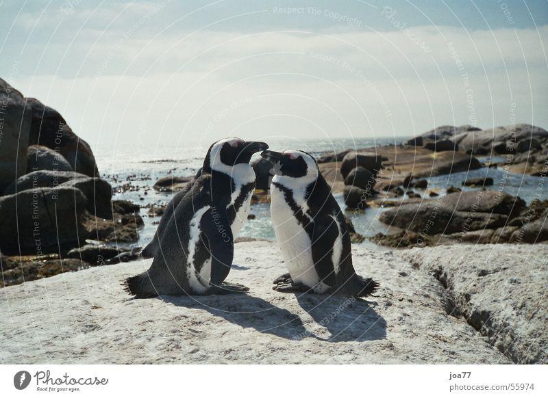 Verliebte Pinguine Meer Liebe Tierpaar paarweise Afrika Südafrika Brillenpinguin Cape Of Good Hope Simon's Town