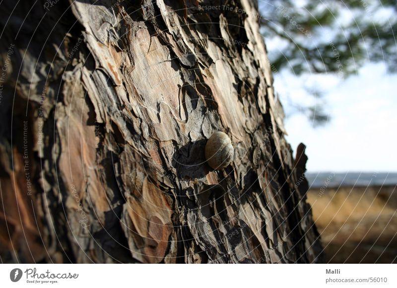 schnecke mediterran Kreta Pinie Sommer Griechenland braun Holz langsam Physik Baum Crete Holzmehl Schnecke Baumstamm Schatten Sonne Wärme pine snail brown
