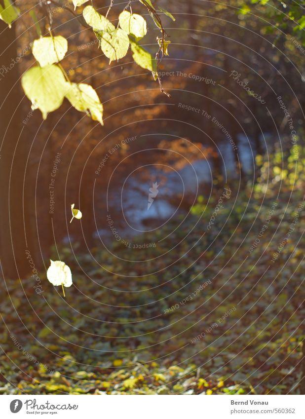 Letztes Leuchten Herbst Baum Herbstlaub Bach Blatt Gegenlicht Sonne Sonnenlicht fallen leuchten Morgen Flussufer gelb blau grün braun Momentaufnahme abwärts