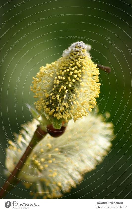 Bienenfutter Weidenkätzchen Blüte nah Frühling grün gelb Pollen aufwachen Makroaufnahme