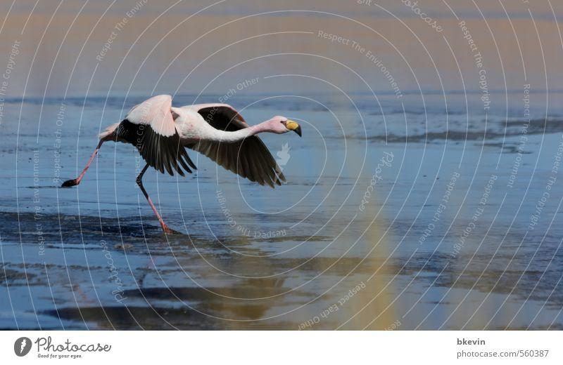 Start Natur Tier Wildtier Vogel Flamingo ästhetisch elegant exotisch frei blau rosa Mut Tatkraft Beginn Bewegung Entschlossenheit Abheben fliegen Farbfoto