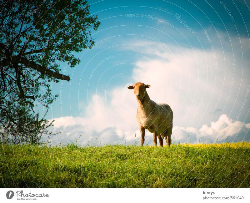 Einzelgänger Himmel Natur blau grün weiß Baum Einsamkeit Landschaft Wolken Tier Ferne gelb Wiese Frühling Horizont Idylle