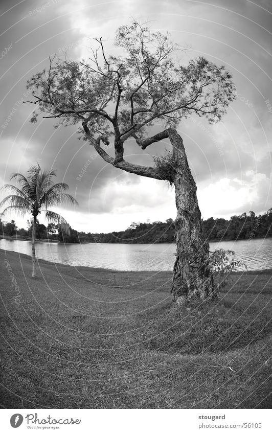 Tree Natur Himmel Singapore tree landscape sky outside lac grass Palme Außenaufnahme