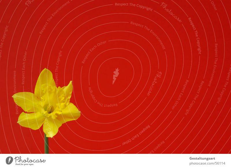 Hallo - ich bin hier! Gelbe Narzisse Narzissen Märzenbecher Blume Frühling aufwachen Pflanze Wachstum Reifezeit schön Blüte Blühend Blütenkelch gelb grün rot