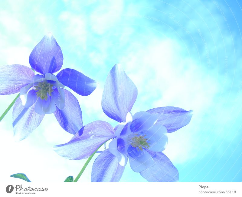 Blauer Frühling Natur Himmel weiß Blume blau Blüte Frühling Garten 2 Vergänglichkeit Blühend Frühlingsgefühle Akelei